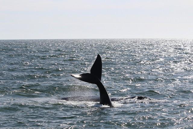 Hermanus whale  by Christian Keller
