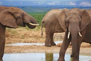 Addo Park elephants by Mario Micklisch