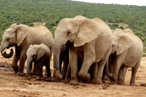 Addo herd by Werner Bayer