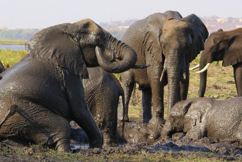 Chobe elephants-2