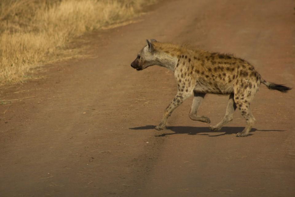 Tanzania hyena