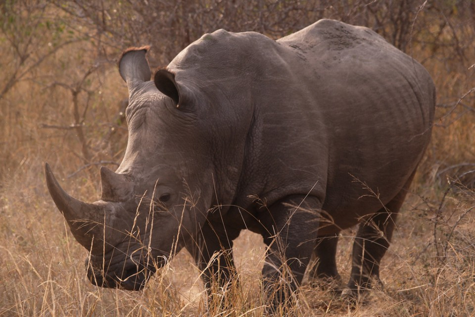 Kruger rhino  by Philip Sheldrake