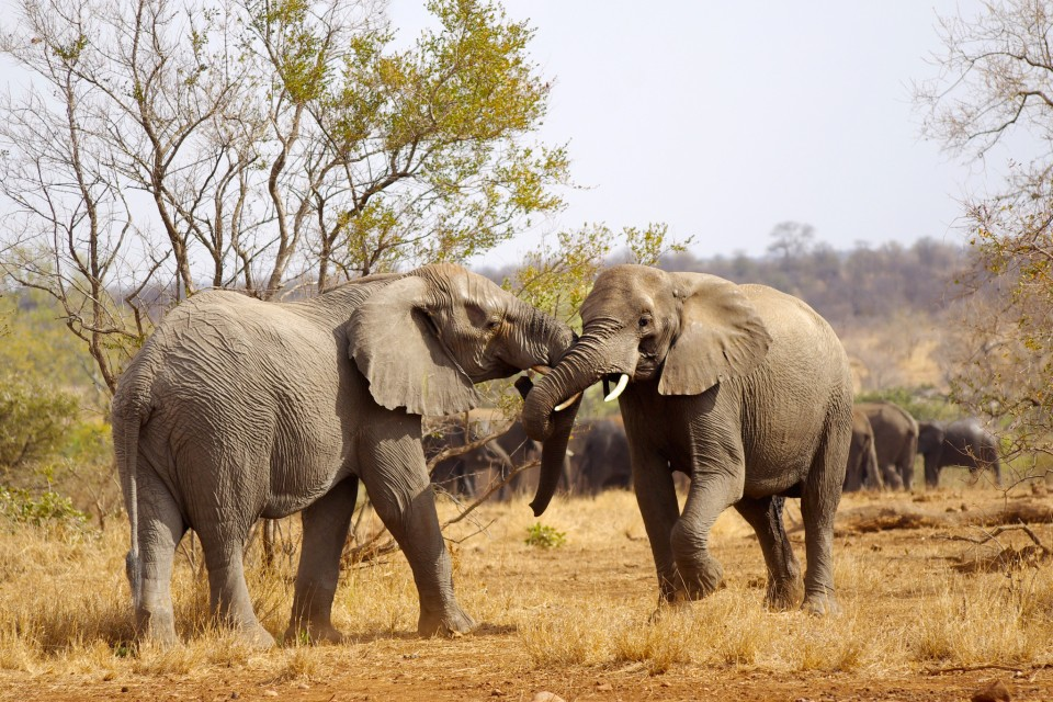 Kruger elephants  by Adam Dimmick