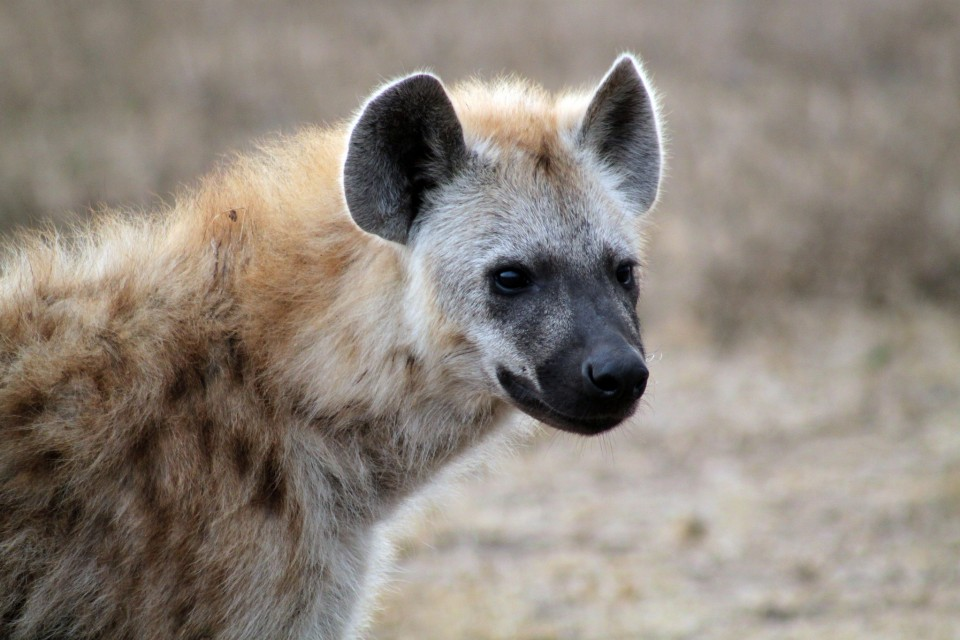 Kruger hyena  by Flowcomm