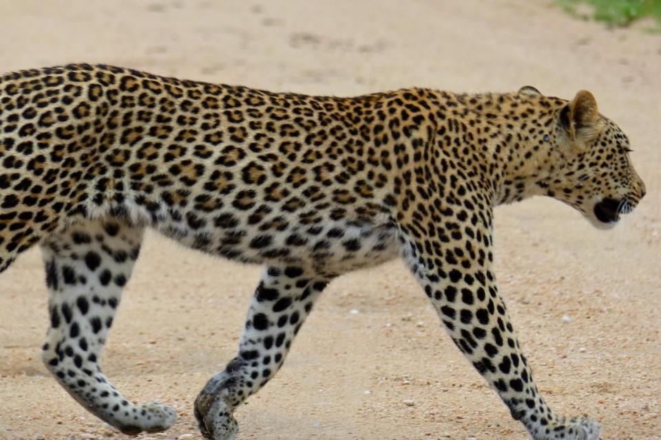 Kruger leopard  by Bernard Dupont
