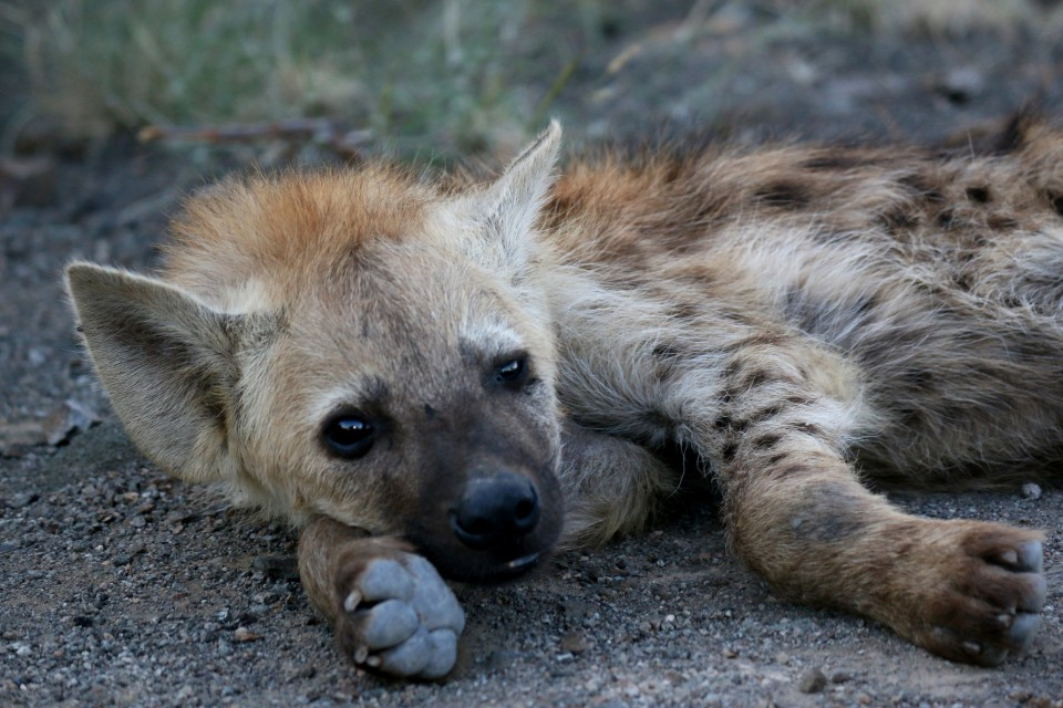 Hyena in Kruger  by Abspires40