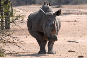 Kruger Park rhino by F Mira