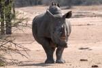 Kruger Park rhino