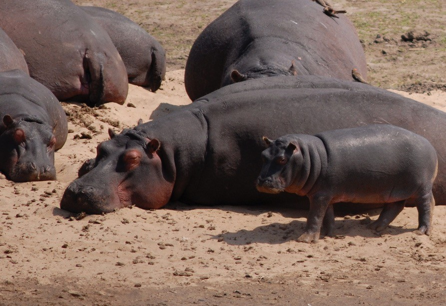 Kruger hippos  by F Mira