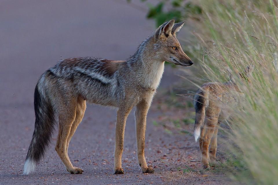 Kruger jackal  by Leon Molenaar