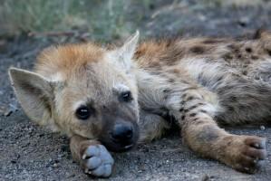 Kp hyena