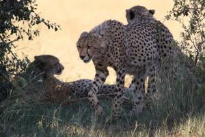 Pilanesberg cheetah by Derek Keats