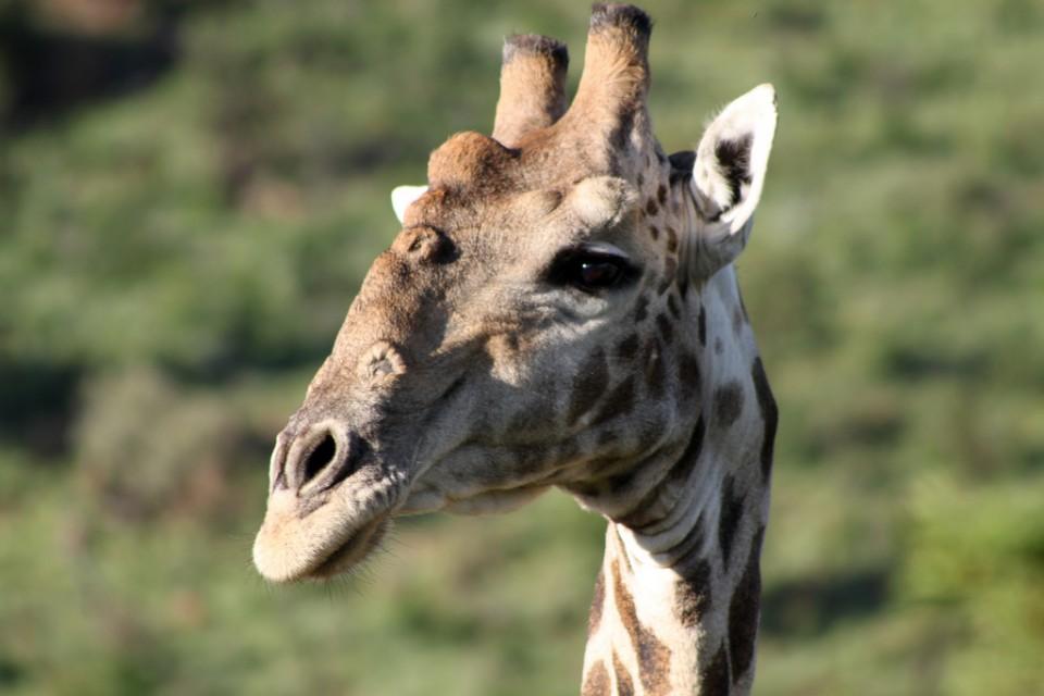 Pilanesberg giraffe  by Flowcomm