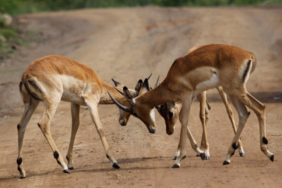 Pilanesberg impalas  by Derek Keats