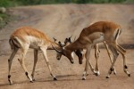 Pilanesberg impalas