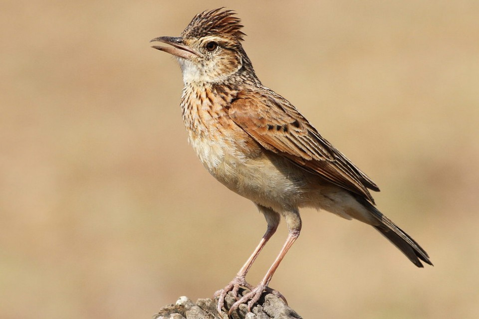 Rufous-naped Lark  by Derek Keats