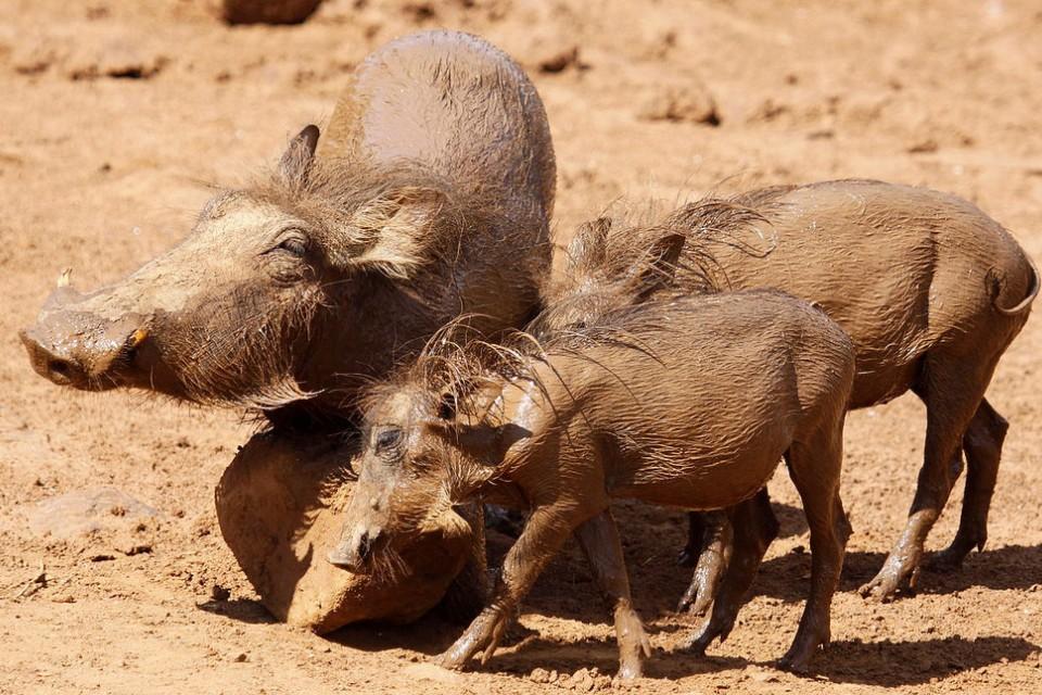 Pilanesberg warthogs  by Derek Keats