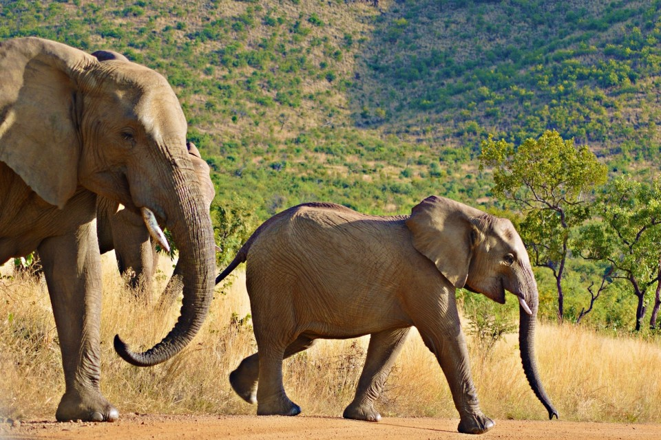 Pilanesberg elephants  by Robin Orchard