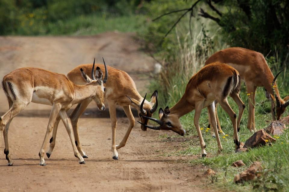 Impalas  by Derek Keats