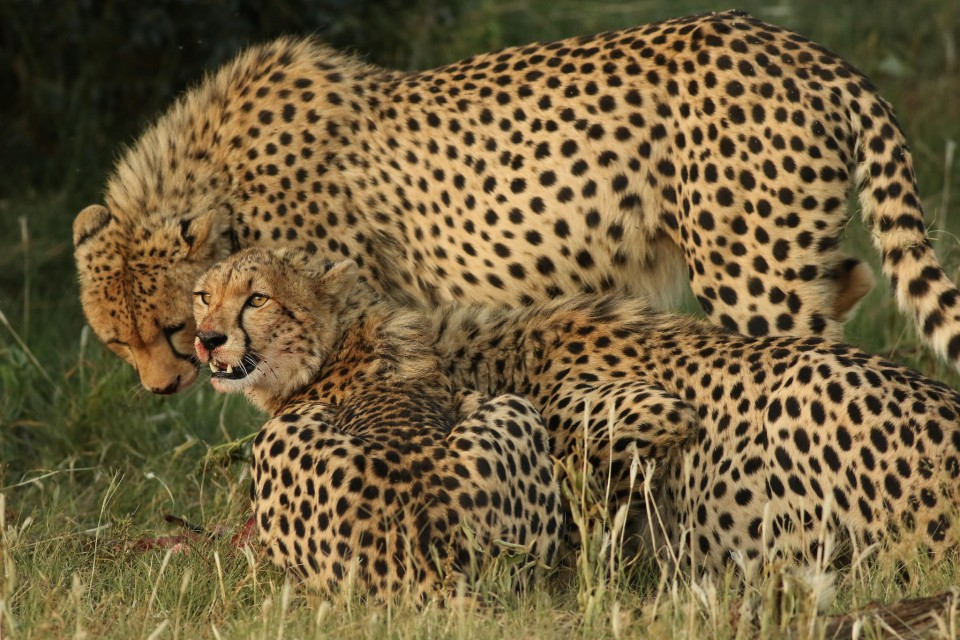 Pilanesberg cheetahs  by Derek Keats