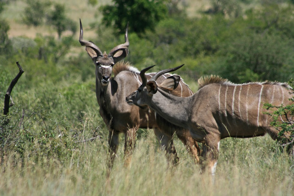 Kudus in Pilanesberg  by Gordon Flood