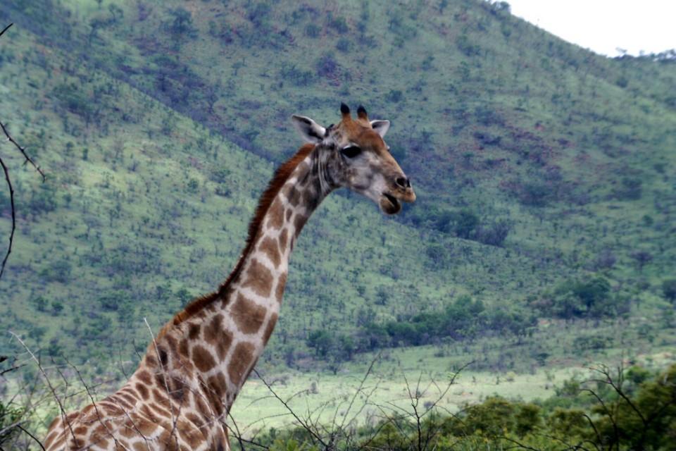 Pilanesberg giraffe  by Laura