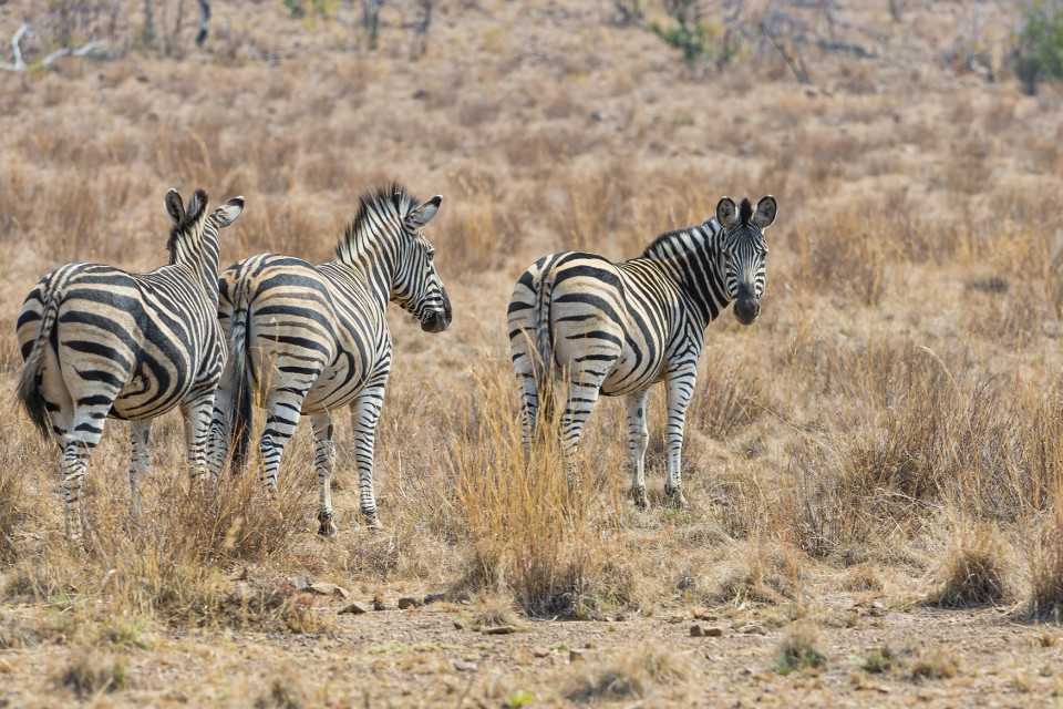 Pilanesberg zebras  by Tambako The Jaguar