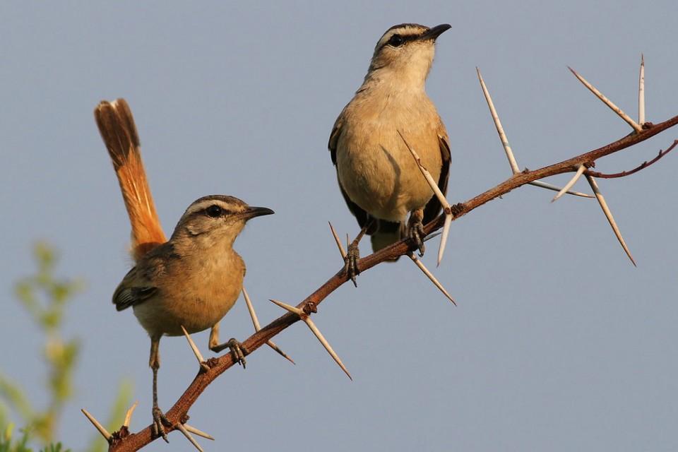 Kalahari scrub robin  by Derek Keats