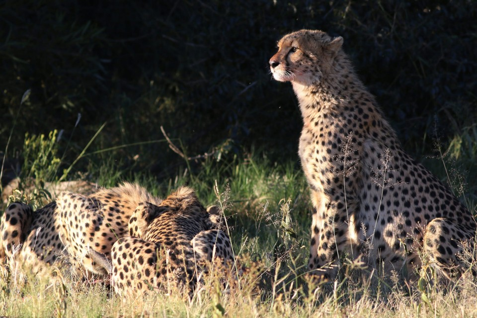 Cheetahs in Pilanesberg  by Derek Keats