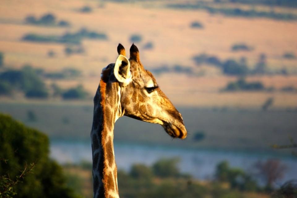 Pilanesberg giraffe  by Romain Cloff