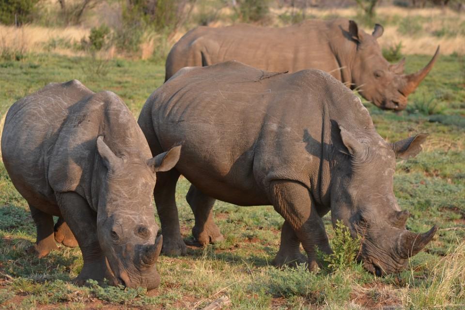 Pilanesberg rhinos  by Robert Nyman