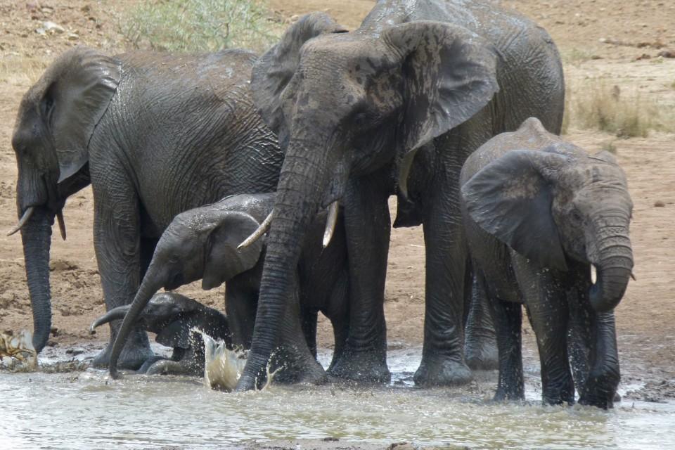 Pilanesberg elephant herd  by Bernard Dupont