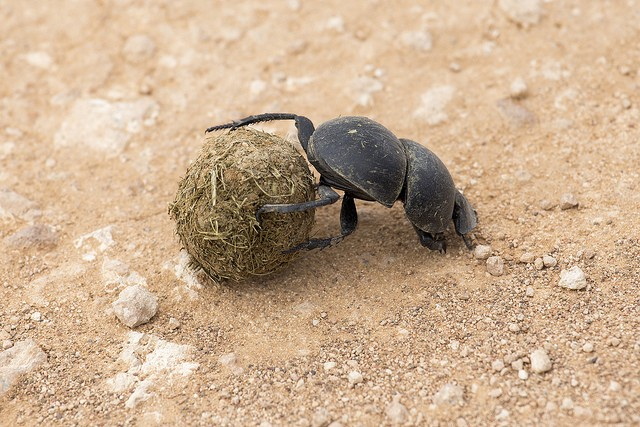 Addo beetle  by Michael Mayer