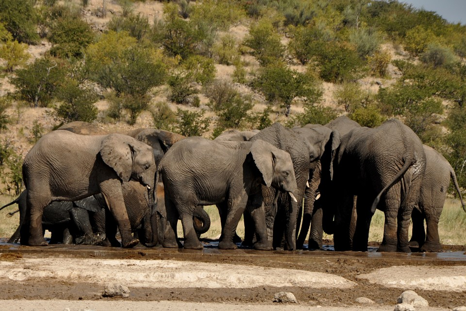 Etosha elephant herd