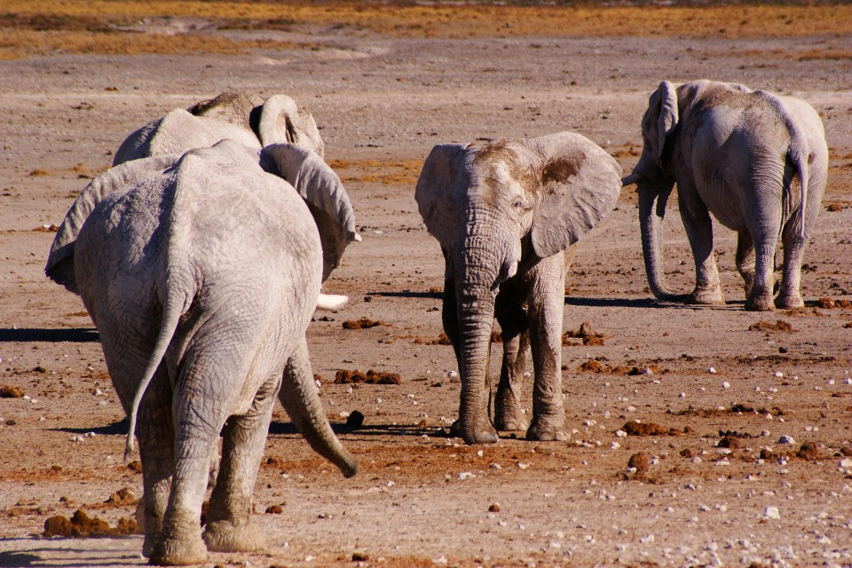 Elephants at nebrownii waterhole etosha national park
