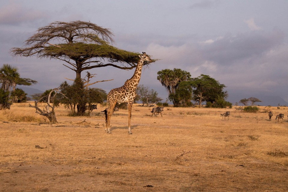 Tanzania giraffe and game  by George