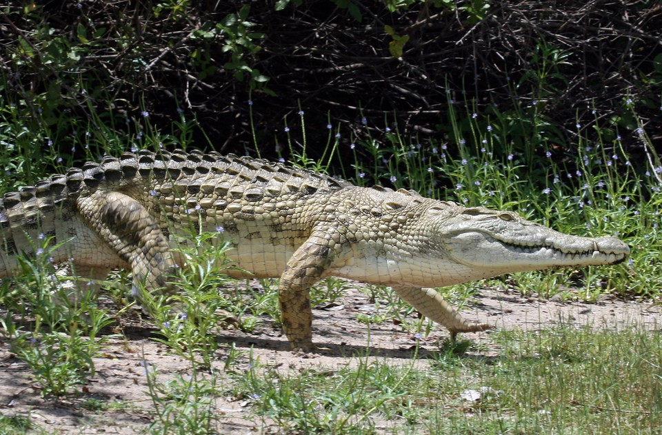 Crocodile in Tanzania  by Vicky van der Luit