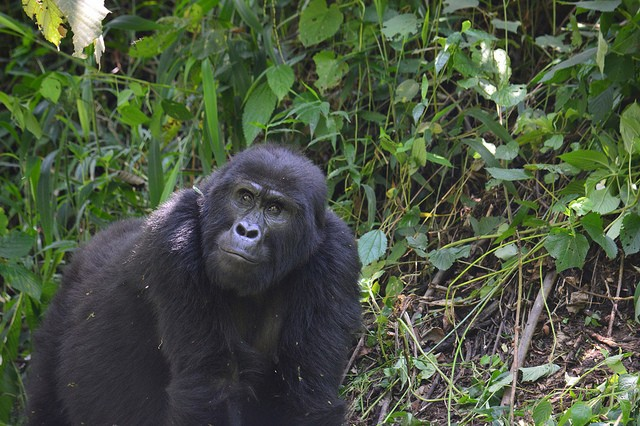 Gorilla in Bwindi  by Megan Coughlin