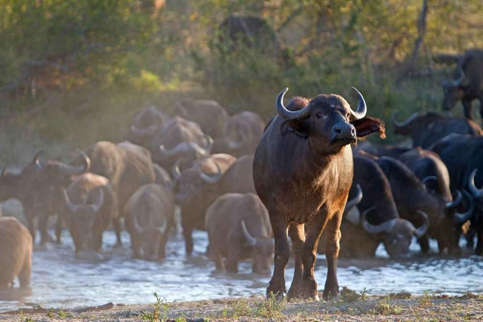 Kruger buffalos