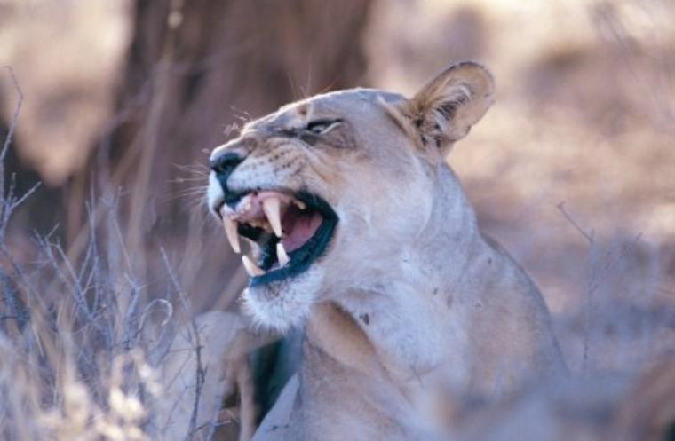 Lioness Image