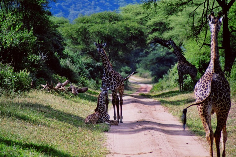 Giraffe-lake-manyara-national-park