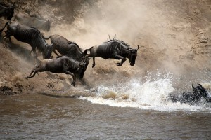 Wildebeest in serengeti.gallery