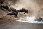 Wildebeest in serengeti.gallery