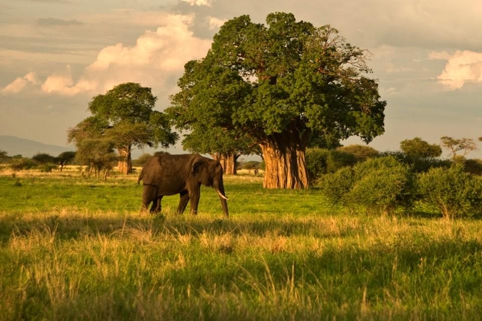 Baobab trees, serengeti.gallery image.8