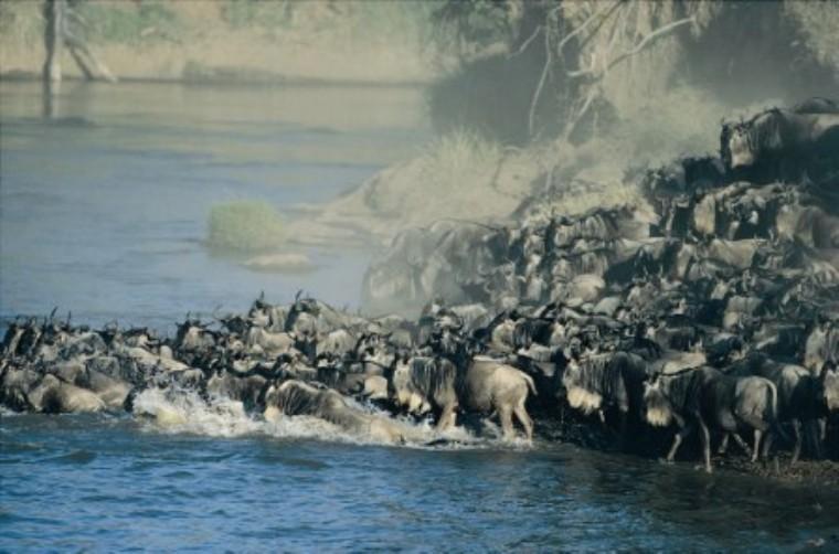 Wildebeest Migration Photo