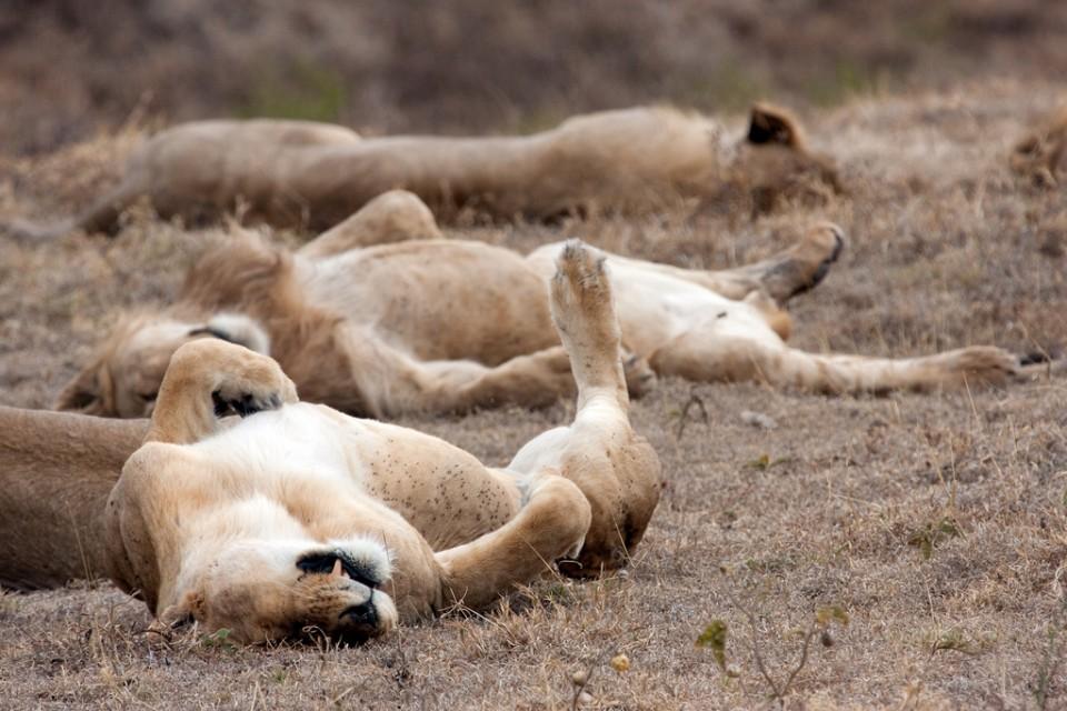 Ngorongoro Crater lions, Tanzania  by Kiwi Vic