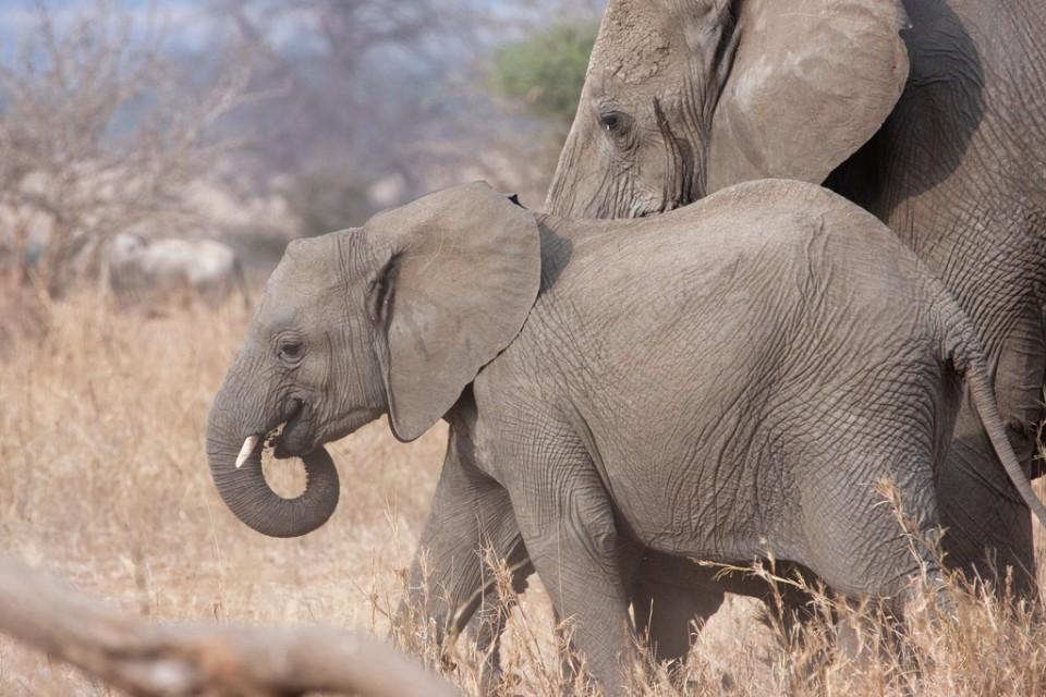 Tarangire Park elephants, Tanzania  by Kiwi Vic