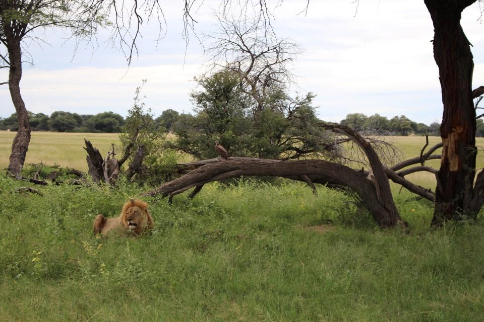 Hwange lion  by John Culley