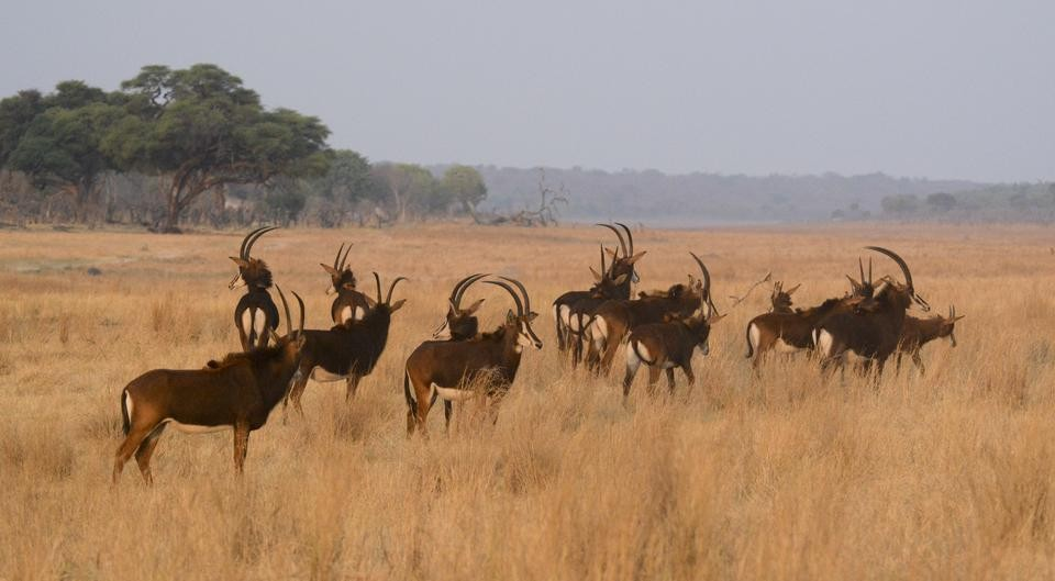 Sable antelopes