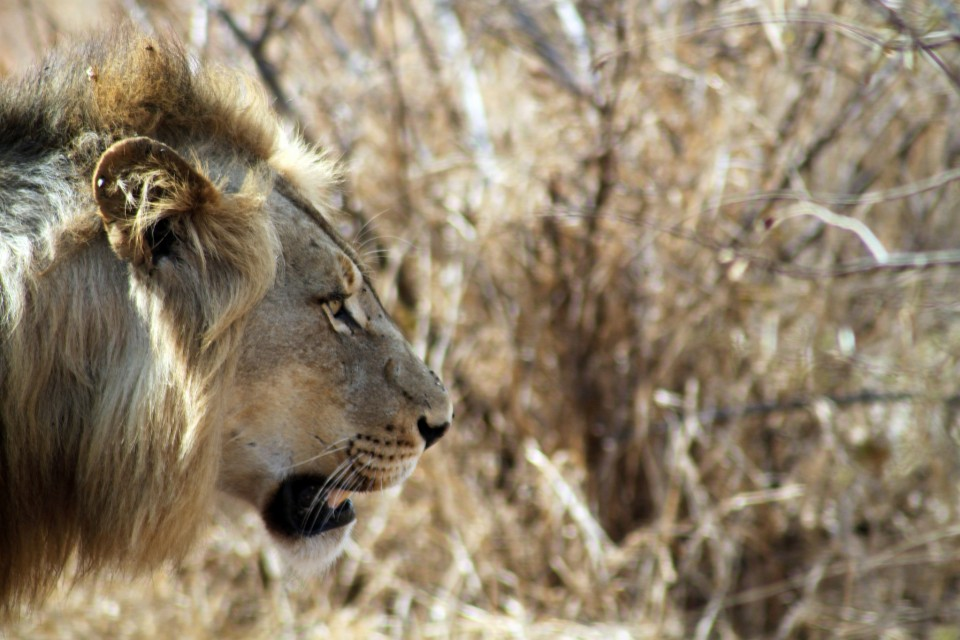 Kruger lion  by flowcomm